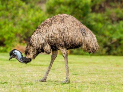 A Emu