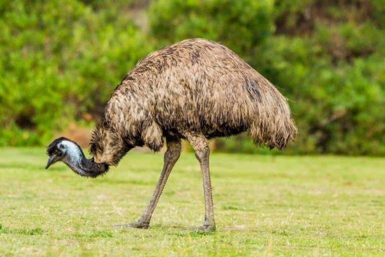 Emu (Dromaius novaehollandiae) grazing in the Australian bush.