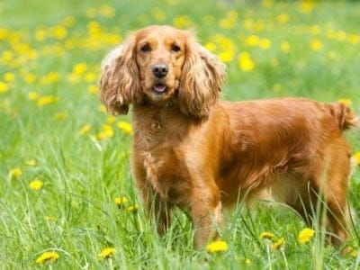 A English Cocker Spaniel