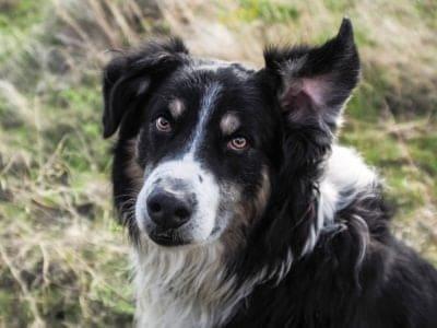 A English Shepherd