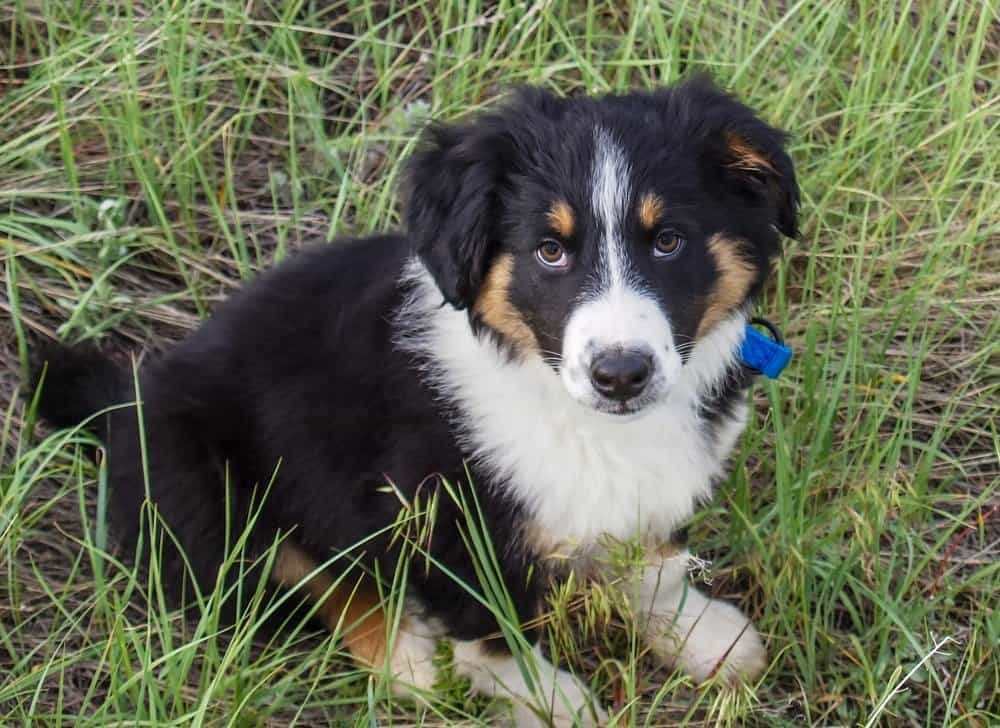 A English Shepard puppy in a grassy field