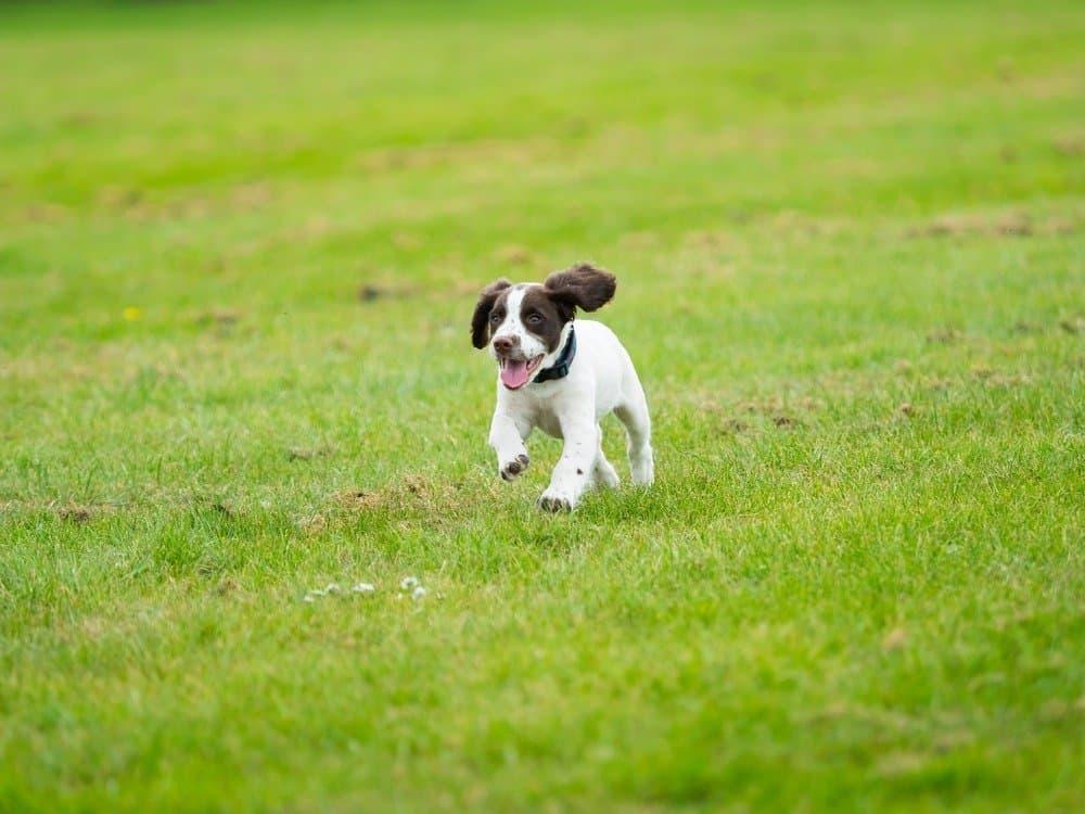 English springer spaniel puppy running in the grass