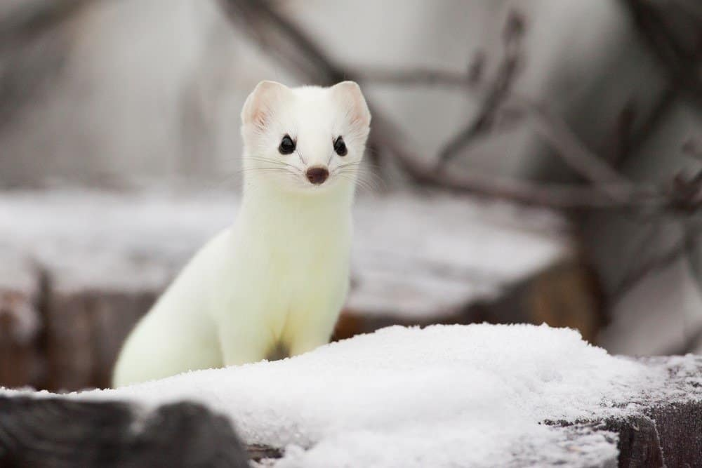 Ermine Animal Pictures | A-Z Animals