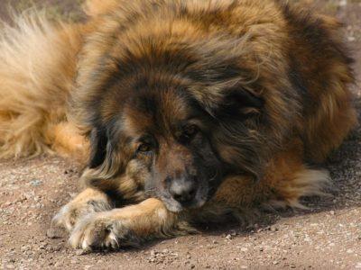 A Estrela Mountain Dog