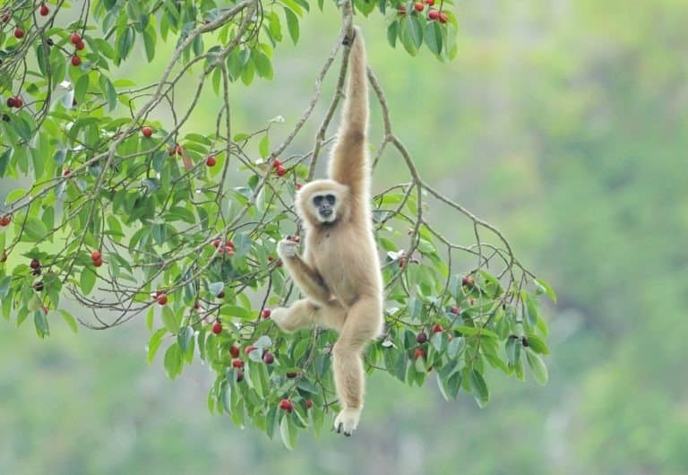 Common gibbon, White-handed gibbon hanging from tree branch