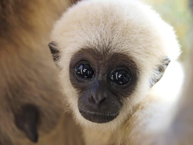 A baby lar gibbon ape