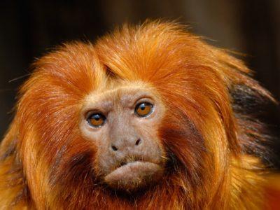 A Golden Lion Tamarin