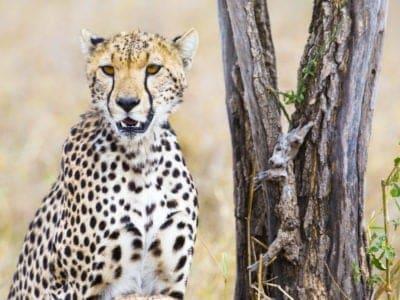 A Cheetah