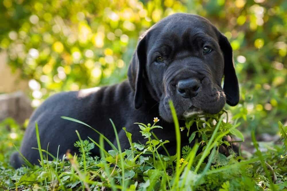 Beautiful black Great Dane dog puppy portrait
