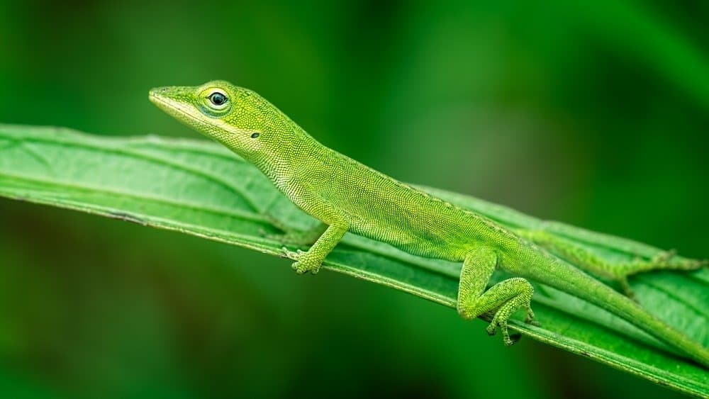 Green Anole Lizard relaxing