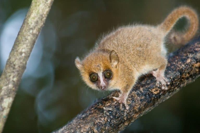 Grey Mouse Lemur (microcebus murinus). Ranomafana National Park, Madagascar