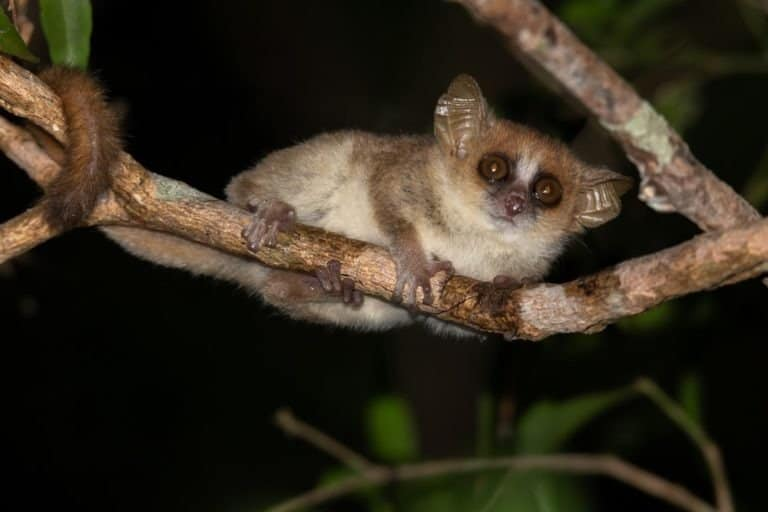 One little mouse lemur on a branch, taken at night