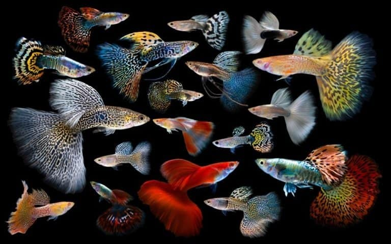 Multi color Guppies, on black background
