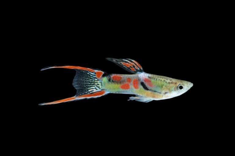 Wild guppy fish isolated on black background (Poecilia reticulata)