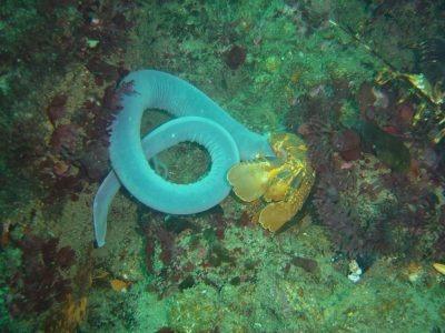 Hagfish, Duiker Point, Cape Peninsula.