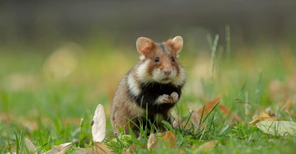 European hamster in a green meadow with lime blossoms