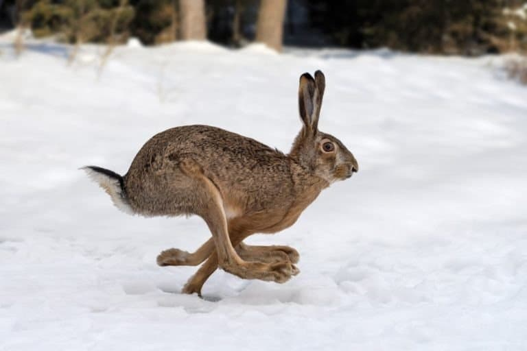 Hare running in the winter forest