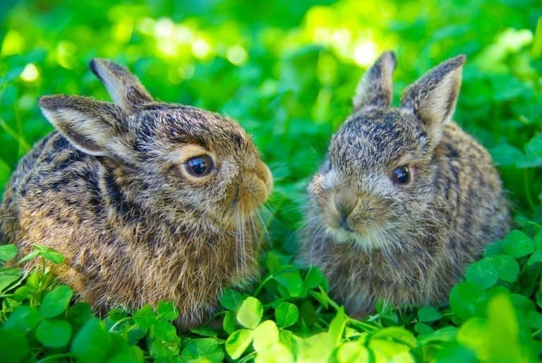 Wild European Hare Babies siting in a clover field