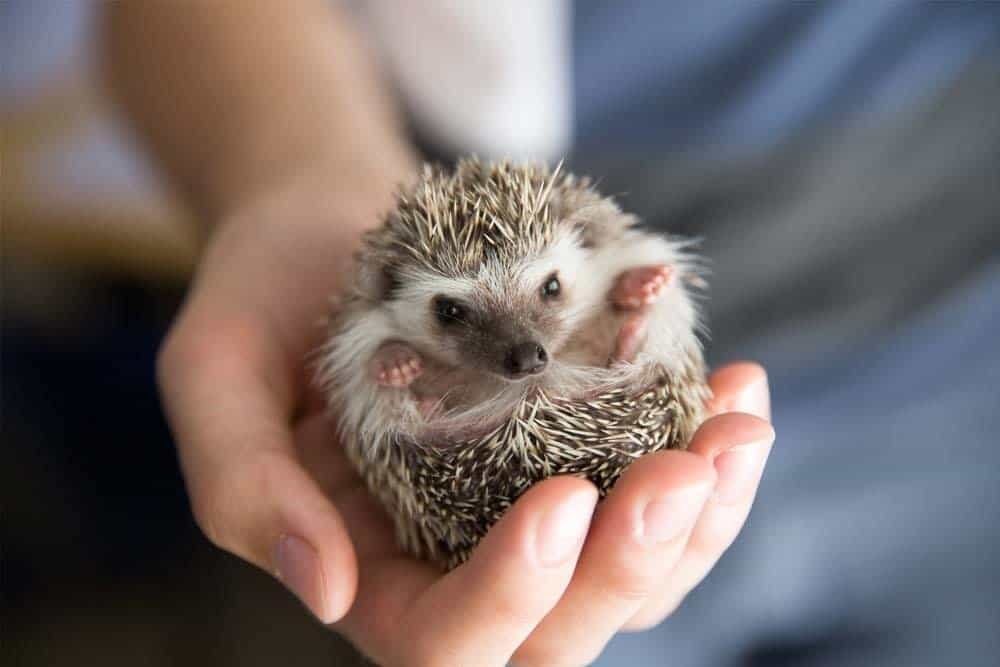 person holding hedgehog