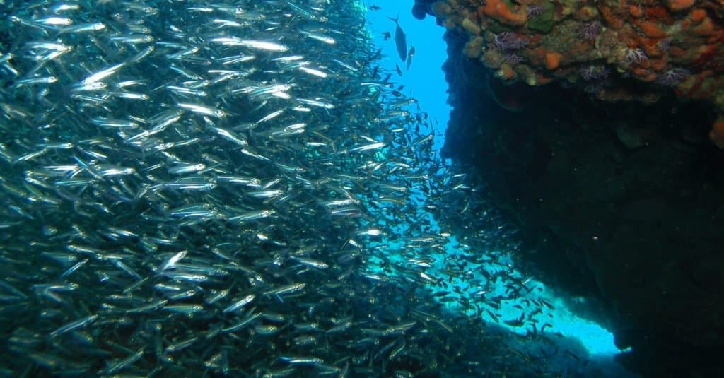 School of silverside herrings from the coral reefs