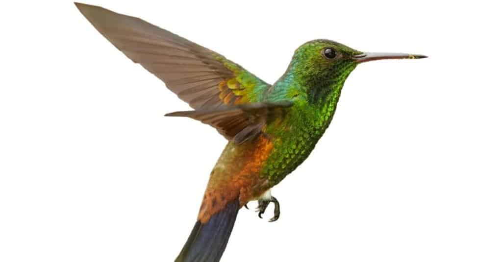 Green, Caribbean hummingbird with coppery colored wings and tail on white background
