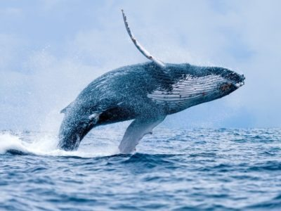 A Humpback Whale