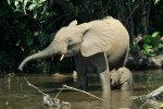 Elephant Calf With Mum   <a href=