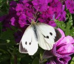Large White Butterfly   <a href=