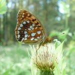 The High Brown Fritillary