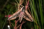 Privet Hawk-moth
