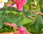 A Chameleon   <a href=