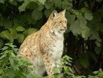 Eurasian Lynx   <a href=