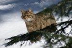 European Wildcat   <a href=