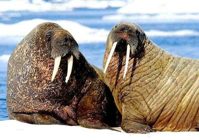 Walrus Couple