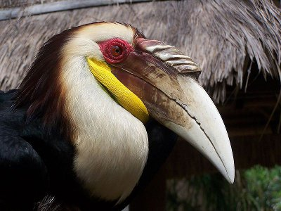 Wreathed Hornbill (c) d10n2000