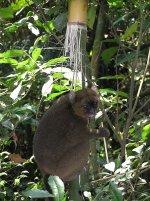A Rare Bamboo Lemur