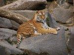 Бенгалски тигар <