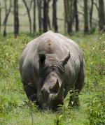 The White Rhinoceros   <a href=