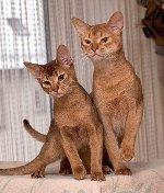 Abyssinian Kittens   <a href=