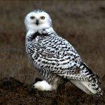 Snowy Owl Markings