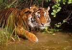 Only 3,200 Wild Tigers Left