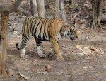 Ranthambore Tiger   <a href=