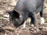 A Truffle Pig   <a href=