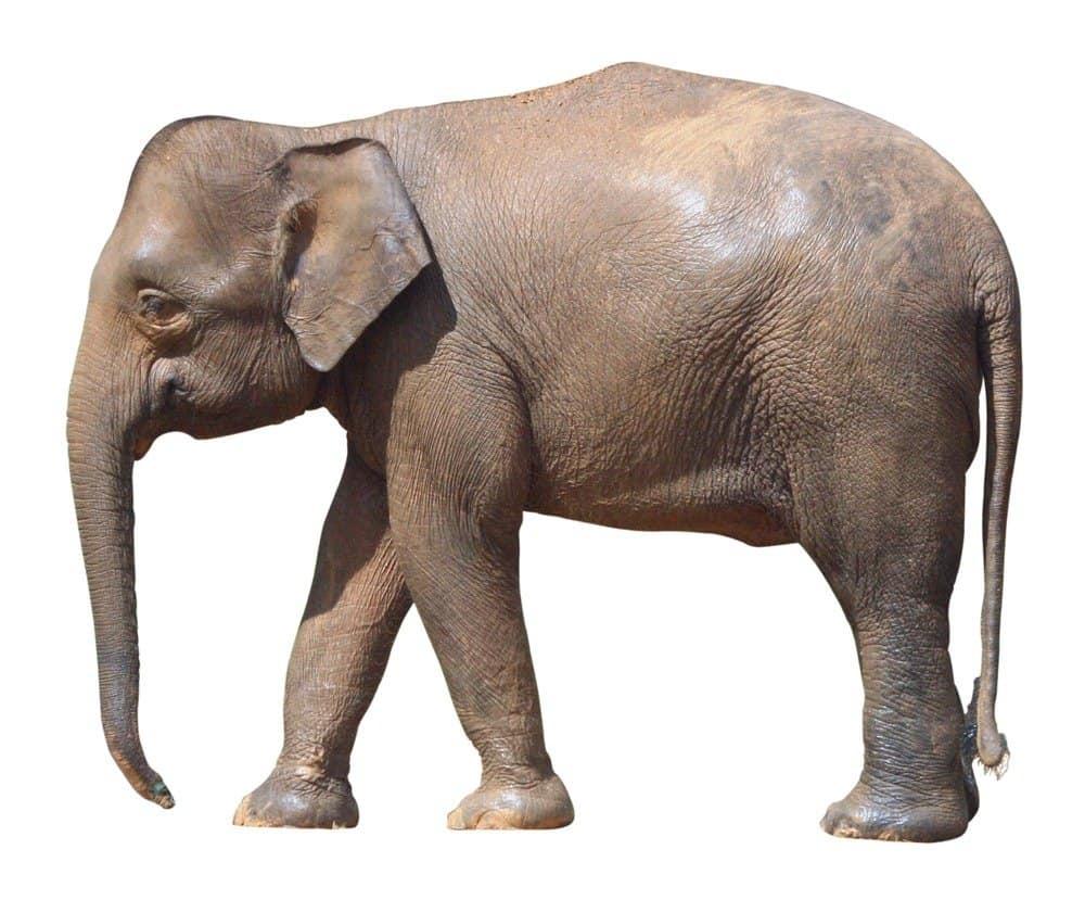 Borneo elephant isolated on a white background