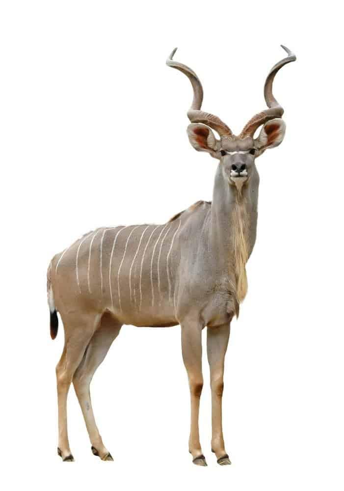 Kudu isolated on white background