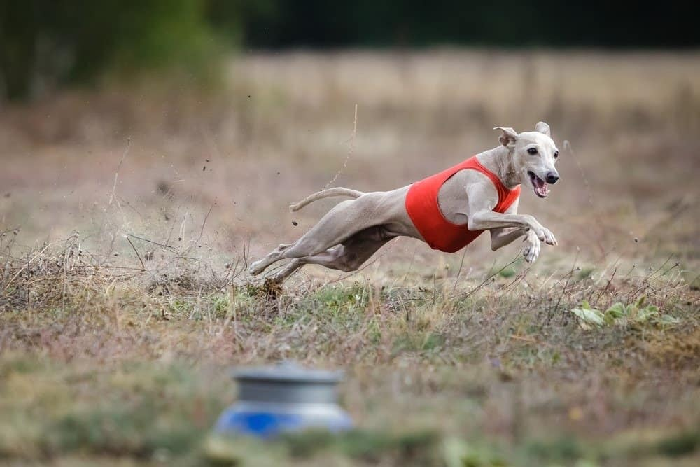 Small Italian Greyhound pursues bait in the field.