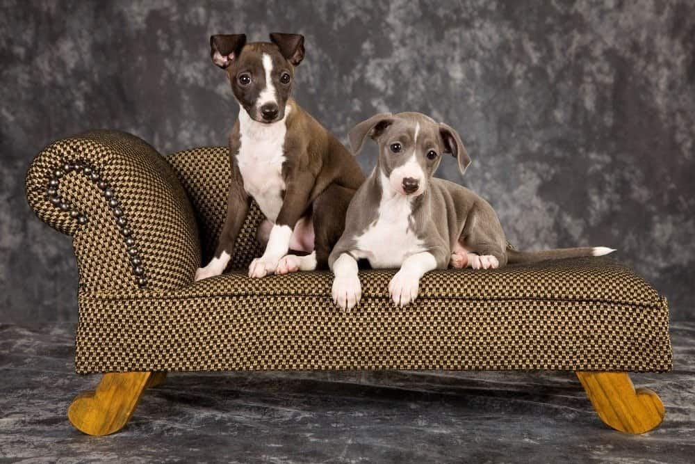2 Italian Greyhound puppies lying on miniature couch
