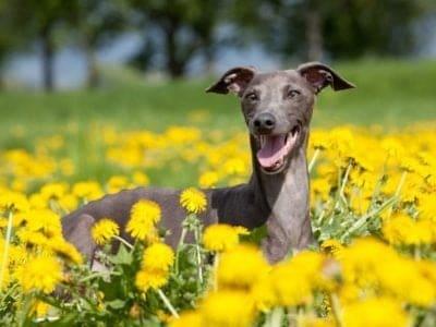 A Italian Greyhound