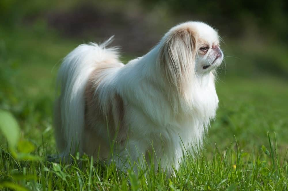 Japanese Chin standing in the grass.