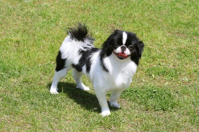 Japanese Chin outside on the grass